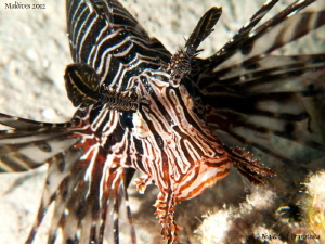 Lionfish. by St&#233;phane Primatesta 